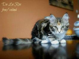 Maine-Coon-Katze – Kätzchen mit Stammbaum