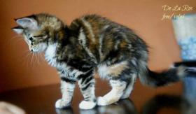 Foto 2 Maine-Coon-Katze – Kätzchen mit Stammbaum