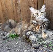 Maine Coon Katze GG