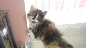 Foto 2 Maine-Coon-Katze K�tzchen mit Stammbaum