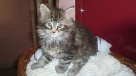 Foto 3 Maine-Coon-Katze K�tzchen mit Stammbaum