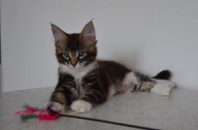 Maine-Coon-Katze mit Papiere Luxusk�tzchen, 2 Kater