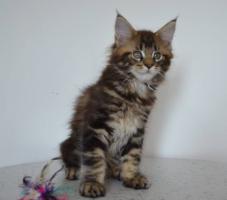 Foto 2 Maine-Coon-Katze mit Papiere Luxusk�tzchen, 2 Kater