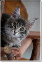 Foto 2 Maine Coon Katze sucht neues Zuhause
