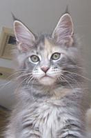Foto 2 Maine Coon Katze, Jungkatze kastriert, *04.7.10, geimpft, Chip, Stammb., sehr typvoll mit Luxpinseln, langem Schwanz,