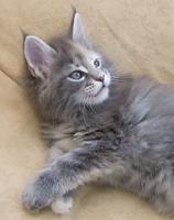 Foto 4 Maine Coon Katze, Jungkatze kastriert, *04.7.10, geimpft, Chip, Stammb., sehr typvoll mit Luxpinseln, langem Schwanz,