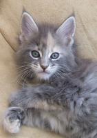 Foto 5 Maine Coon Katze, Jungkatze kastriert, *04.7.10, geimpft, Chip, Stammb., sehr typvoll mit Luxpinseln, langem Schwanz,