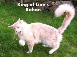 Foto 6 Maine Coon Katze, Jungkatze kastriert, *04.7.10, geimpft, Chip, Stammb., sehr typvoll mit Luxpinseln, langem Schwanz,