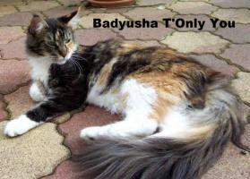Foto 7 Maine Coon Katze, Jungkatze kastriert, *04.7.10, geimpft, Chip, Stammb., sehr typvoll mit Luxpinseln, langem Schwanz,