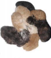 Maine-Coon-Katze - K�tzchen mit Papiere