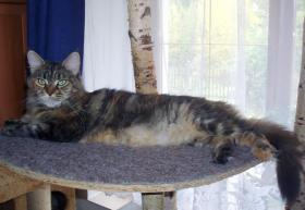 Foto 4 Maine-Coon-Katze - K�tzchen mit Papiere
