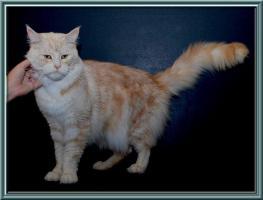 Foto 5 Maine-Coon-Katze - K�tzchen mit Papiere