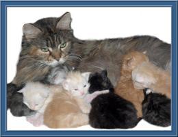 Foto 6 Maine-Coon-Katze - K�tzchen mit Papiere