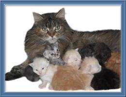 Foto 7 Maine-Coon-Katze - K�tzchen mit Papiere
