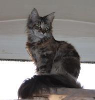 Foto 2 Maine Coon Katzen