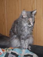 Foto 4 Maine Coon Katzen