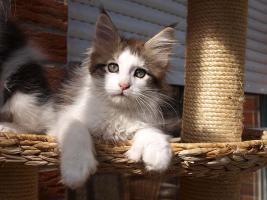 Foto 3 Maine Coon Katzen