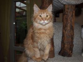 Foto 6 Maine Coon Katzen