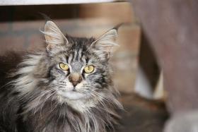 Maine Coon Katzen in liebevolle Hände abzugeben!