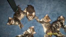 Foto 2 Maine-Coon Katzenbabys