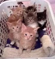 Maine-Coon Katzenbabys mit Papiere, FIFE reg., geboren 21.5.2014