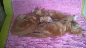 Foto 3 Maine-Coon Katzenbabys mit Papiere, FIFE reg., geboren 21.5.2014