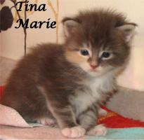 Foto 5 Maine Coon Kitten