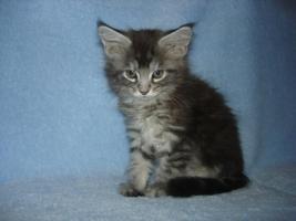 Foto 5 Maine Coon Kitten