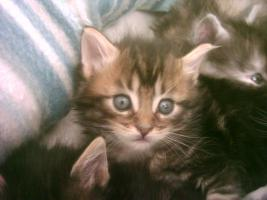 Foto 3 Maine Coon Kitten,