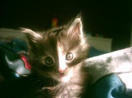 Foto 4 Maine Coon Kitten,