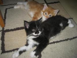 Foto 2 Maine Coon Kitten