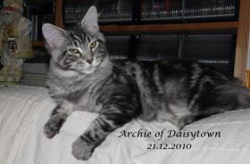 Maine Coon Kitten Archie mit Stammbaum