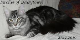Foto 2 Maine Coon Kitten Archie mit Stammbaum