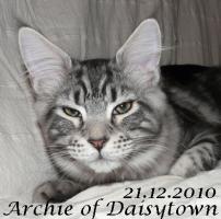 Foto 3 Maine Coon Kitten Archie mit Stammbaum