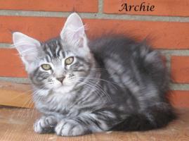 Foto 4 Maine Coon Kitten Archie mit Stammbaum
