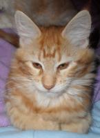 Foto 2 Maine Coon Kitten Ayane sucht Ihre Familie