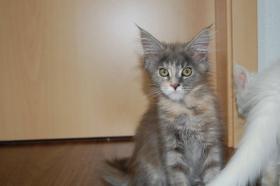 Foto 4 Maine Coon Kitten Buben und Mädels