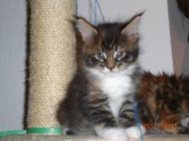 Maine Coon Kitten (Kätzchen) mit Stammbaum