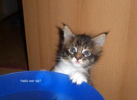 Foto 2 Maine Coon Kitten (Kätzchen) mit Stammbaum