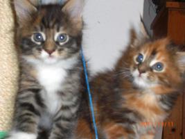 Foto 3 Maine Coon Kitten (Kätzchen) mit Stammbaum