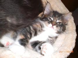 Foto 4 Maine Coon Kitten (Kätzchen) mit Stammbaum
