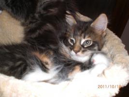 Foto 5 Maine Coon Kitten (Kätzchen) mit Stammbaum