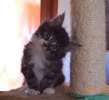 Maine Coon Kitten (Kater) mit Stammbaum