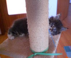 Foto 2 Maine Coon Kitten (Kater) mit Stammbaum