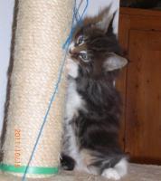 Foto 3 Maine Coon Kitten (Kater) mit Stammbaum