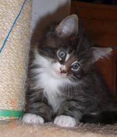 Foto 5 Maine Coon Kitten (Kater) mit Stammbaum