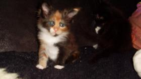 Maine Coon Kitten Langstteich's