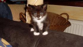 Foto 2 Maine Coon Kitten Langstteich's