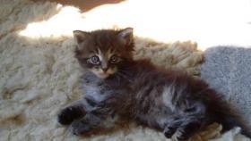 Foto 3 Maine Coon Kitten Langstteich's