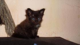 Foto 4 Maine Coon Kitten Langstteich's